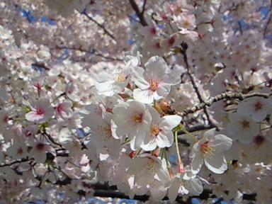 公園桜2009③.JPG